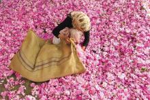 recolectora rosas Kelaat M'Gouna